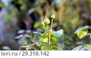 Купить «Бутоны розы», фото № 29318142, снято 7 октября 2018 г. (c) Валерий Шилов / Фотобанк Лори