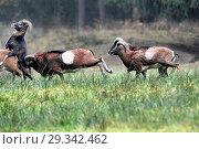 Купить «Mountain sheep, rut of the Mufflons, ruttish Arieses, horn-rimmed bearers, horns, muzzle spot, Mufflon, Mufflonbrunft, Mufflons, Mufflons in autumn, Mufflons...», фото № 29342462, снято 23 марта 2019 г. (c) age Fotostock / Фотобанк Лори