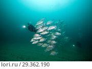 Купить «Scuba Diver and Dog Snapper, Lutjanus novemfasciatus, Cabo Pulmo, Baja California Sur, Mexico», фото № 29362190, снято 17 декабря 2018 г. (c) age Fotostock / Фотобанк Лори
