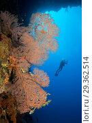 Купить «Scuba Diver at Coral Reef, Melithaea sp., Christmas Island, Australia», фото № 29362514, снято 17 декабря 2018 г. (c) age Fotostock / Фотобанк Лори