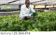 Купить «Successful African-American farmer working in greenhouse, engaged in cultivation of organic Malabar spinach», видеоролик № 29364414, снято 18 сентября 2018 г. (c) Яков Филимонов / Фотобанк Лори