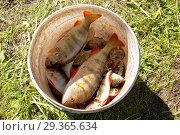 Купить «Речные окуни в ведре», фото № 29365634, снято 22 июля 2018 г. (c) Круглов Олег / Фотобанк Лори