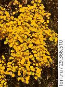 Купить «Золотистые листья осины обыкновенной», эксклюзивное фото № 29366510, снято 17 октября 2018 г. (c) lana1501 / Фотобанк Лори