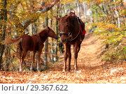 Купить «Лошадь и жеребенок в осеннем лесу», фото № 29367622, снято 19 октября 2018 г. (c) Яна Королёва / Фотобанк Лори