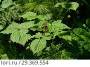 Купить «Ветка лесной малины с листвой», эксклюзивное фото № 29369554, снято 14 июня 2015 г. (c) lana1501 / Фотобанк Лори