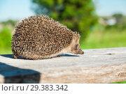 Купить «The lovely hedgehog sits», фото № 29383342, снято 29 июня 2018 г. (c) Чирков Сергей Викторович / Фотобанк Лори