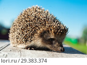 Купить «The lovely hedgehog sits», фото № 29383374, снято 29 июня 2018 г. (c) Чирков Сергей Викторович / Фотобанк Лори