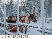 Reindeer at the Santa Claus village in Lapland. Стоковое фото, фотограф Liseykina / Фотобанк Лори