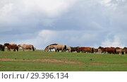 Купить «Herd of horses in grassland near mongolian sand dune desert Altan Els. Mongolia», видеоролик № 29396134, снято 10 июля 2018 г. (c) Serg Zastavkin / Фотобанк Лори