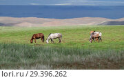 Купить «Herd of horses graze on meadow in oasis near mongolian sand desert Mongol Els. Govi-Altay, Mongolia», видеоролик № 29396262, снято 14 июля 2018 г. (c) Serg Zastavkin / Фотобанк Лори