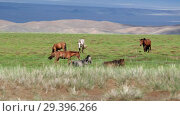 Купить «Herd of horses graze on meadow in oasis near mongolian sand desert Mongol Els. Govi-Altay, Mongolia», видеоролик № 29396266, снято 14 июля 2018 г. (c) Serg Zastavkin / Фотобанк Лори