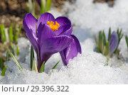 Купить «Фиолетовые крокусы (лат. Crocus) крупным планом», фото № 29396322, снято 16 апреля 2018 г. (c) Елена Коромыслова / Фотобанк Лори