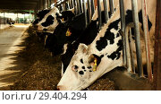 Купить «Cow chewing food on modern farm», видеоролик № 29404294, снято 17 сентября 2018 г. (c) Яков Филимонов / Фотобанк Лори