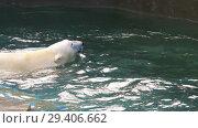 Купить «Polar bear playing in water», видеоролик № 29406662, снято 30 октября 2018 г. (c) Игорь Жоров / Фотобанк Лори