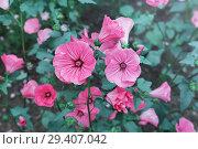 Купить «Лаватера (хатьма) цветет в саду. Красивый однолетний цветок», фото № 29407042, снято 31 августа 2018 г. (c) Наталья Осипова / Фотобанк Лори