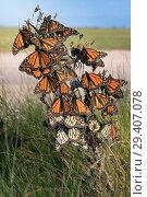 Купить «Monarch butterfly (Danaus plexippus). Butterflies wait out a strong wind while traveling to wintering grounds. Texas Gulf Coast», фото № 29407078, снято 10 ноября 2018 г. (c) Ирина Кожемякина / Фотобанк Лори