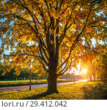 Купить «Большой осенний дуб  large autumn oak», фото № 29412042, снято 9 октября 2018 г. (c) Baturina Yuliya / Фотобанк Лори