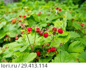 Купить «Много спелых ягод лесной земляники на одном кусте», фото № 29413114, снято 15 июня 2018 г. (c) Вячеслав Палес / Фотобанк Лори