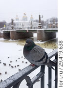 Купить «St. Petersburg in the winter. A dove sits on the fence of the Griboyedov Canal against the background of St. Nicholas Church on a snowy cold day», фото № 29419638, снято 26 января 2016 г. (c) Виктория Катьянова / Фотобанк Лори