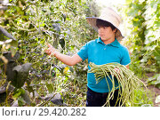 Купить «Little boy picking harvest of chinese vigna in sunny garden at farm», фото № 29420282, снято 13 августа 2018 г. (c) Яков Филимонов / Фотобанк Лори