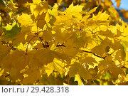Купить «Желтые кленовые листья. Золотая осень», эксклюзивное фото № 29428318, снято 16 октября 2018 г. (c) lana1501 / Фотобанк Лори