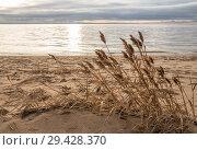 Купить «Осенний пейзаж. Сухой тростник на пустынном песчаном пляже. Берег Финского залива, Западный Котлин», фото № 29428370, снято 4 ноября 2018 г. (c) Юлия Бабкина / Фотобанк Лори