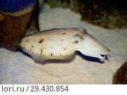 Купить «Каракатица. cuttle fish.», фото № 29430854, снято 7 ноября 2014 г. (c) Галина Савина / Фотобанк Лори