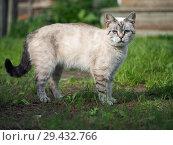 Купить «Portrait of a strange cat. The cat is a purebred.», фото № 29432766, снято 16 ноября 2018 г. (c) Ирина Козорог / Фотобанк Лори
