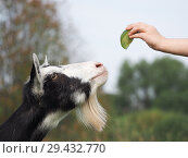 Купить «Children's hand with a treat and a goat's face», фото № 29432770, снято 16 февраля 2019 г. (c) Ирина Козорог / Фотобанк Лори