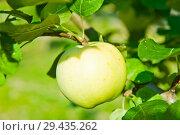Купить «Одно спелое большое яблоко на ветке яблони. Солнечный летний день (крупный план)», фото № 29435262, снято 20 августа 2018 г. (c) E. O. / Фотобанк Лори