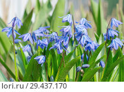Купить «Сцилла двулистная Таурика или пролеска (лат. Scilla difolia L.)», фото № 29437170, снято 1 мая 2018 г. (c) Елена Коромыслова / Фотобанк Лори