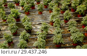 Купить «Picture of seedlings of tomatoes growing in pots in hothouse», видеоролик № 29437246, снято 23 июля 2018 г. (c) Яков Филимонов / Фотобанк Лори