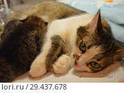 Кошкин дом; кошка кормит котят. Стоковое фото, фотограф Светлана Федорова / Фотобанк Лори