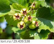 Молодые зеленые плоды боярышника. Стоковое фото, фотограф Вячеслав Палес / Фотобанк Лори