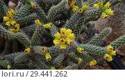 Купить «A Beautiful cactus with an yellow flowers», видеоролик № 29441262, снято 5 ноября 2018 г. (c) Володина Ольга / Фотобанк Лори