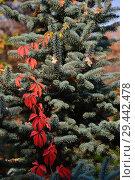 Купить «Побег дикого винограда с красными листочками и голубая ель», эксклюзивное фото № 29442478, снято 19 октября 2018 г. (c) lana1501 / Фотобанк Лори
