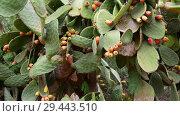 Купить «prickly pear cactus on sky background», видеоролик № 29443510, снято 5 ноября 2018 г. (c) Володина Ольга / Фотобанк Лори