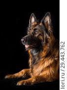 Купить «Studio portrait beautiful long haired german shepherd female dog on black background», фото № 29443762, снято 9 октября 2018 г. (c) Julia Shepeleva / Фотобанк Лори