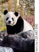 Купить «Da Mao (male: meaning double smoothness) giant panda on the playground at Calgary Zoo. The Calgary Zoo invited media to join celebration of the arrival...», фото № 29447890, снято 7 мая 2018 г. (c) age Fotostock / Фотобанк Лори