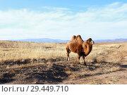 Купить «Верблюд двугорбый на пастбище», фото № 29449710, снято 11 ноября 2018 г. (c) Валерий Митяшов / Фотобанк Лори