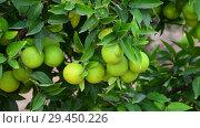 Купить «Many unripe green orange on tree», видеоролик № 29450226, снято 5 ноября 2018 г. (c) Володина Ольга / Фотобанк Лори