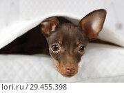 Купить «Portrait of a lovely toy Terrier puppy», фото № 29455398, снято 3 ноября 2018 г. (c) Алексей Кузнецов / Фотобанк Лори