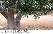 Купить «Fragment of an olive tree without fruits», видеоролик № 29456942, снято 5 ноября 2018 г. (c) Володина Ольга / Фотобанк Лори