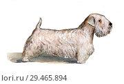 Купить «Силихем-терьер нарисованный акварелью в профиль на белом фоне», иллюстрация № 29465894 (c) Elizaveta Kharicheva / Фотобанк Лори