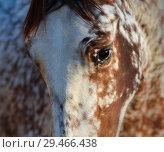 Купить «Помесь Андалузской лошади и Аппалуза. Портрет молодого жеребца.», фото № 29466438, снято 21 ноября 2018 г. (c) Абрамова Ксения / Фотобанк Лори