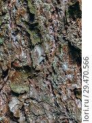 Corteccia e muschio su un tronco di conifera. Стоковое фото, фотограф Сергей Носов / Фотобанк Лори