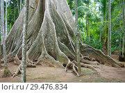 Купить «Большое дерево в провинции Утхайтхани, Таиланд», фото № 29476834, снято 2 сентября 2016 г. (c) Natalya Sidorova / Фотобанк Лори
