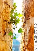 Купить «Fresh shoots of ivy plant creeping sandstone walls», фото № 29477910, снято 25 мая 2017 г. (c) Сергей Новиков / Фотобанк Лори