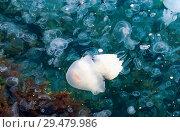 Купить «Jellyfish swim in the Black sea. Tarhankut. Crimea ,Russia.», фото № 29479986, снято 17 сентября 2018 г. (c) Алексей Маринченко / Фотобанк Лори