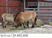 Купить «Mongolian wild ass (Equus hemionus hemionus), also known as Mongolian khulan in winter», фото № 29492606, снято 24 марта 2018 г. (c) Валерия Попова / Фотобанк Лори